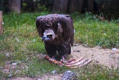 Pájaro del cóndor Foto de archivo