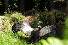 Pájaro del cóndor andino Imagen de archivo libre de regalías