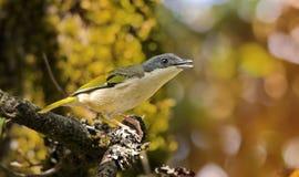 Pájaro del canto: Alcaudón Fotografía de archivo