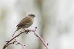 Pájaro del canto del Dunnock Foto de archivo libre de regalías