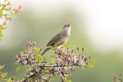 Pájaro del canto en la búsqueda para un compañero Imagen de archivo libre de regalías