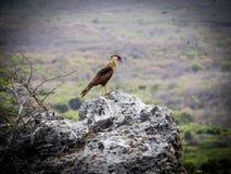 Pájaro del Caracara Imagen de archivo libre de regalías