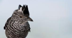 Pájaro del Caribe - Trinidad y Tobago 03 Foto de archivo libre de regalías