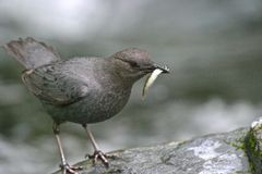 Pájaro del cazo del Ouzel de agua en el borde de las cascadas Imagenes de archivo