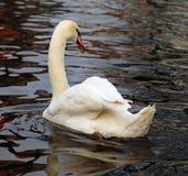 Pájaro del cisne Fotos de archivo libres de regalías