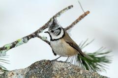 Pájaro del ciuffo de Cincia Fotos de archivo