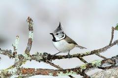 Pájaro del ciuffo de Cincia Foto de archivo