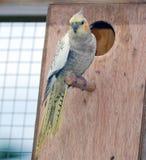 Pájaro del Cockatiel en perca Imagen de archivo