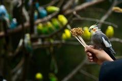 Pájaro del Cockatiel que se sienta en la mano imagenes de archivo