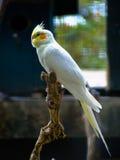Pájaro del Cockatiel que se sienta en una rama de árbol Fotografía de archivo