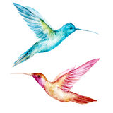 Pájaro del colibri de la acuarela Imágenes de archivo libres de regalías