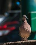 Pájaro del Columbidae del primer en el piso Imagenes de archivo