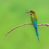 Pájaro del comedor de abeja Foto de archivo