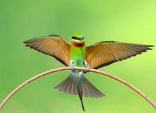 Pájaro del comedor de abeja Fotos de archivo libres de regalías