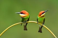 Pájaro del comedor de abeja Fotos de archivo