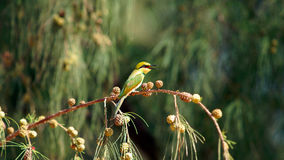 Pájaro del comedor de abeja del verde amarillo pequeño que se sienta en una rama Imagen de archivo libre de regalías