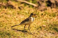 Pájaro del comedor del gusano Foto de archivo
