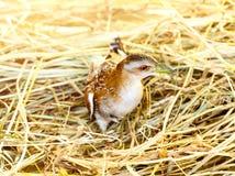 Pájaro del crake de Baillon lindo que se sienta en hierba foto de archivo