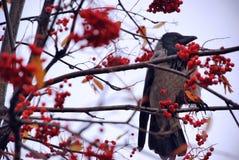Pájaro del cuervo en un árbol con las frutas Imagen de archivo