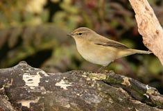 Pájaro del desperdicio de Chiff Fotos de archivo libres de regalías