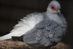 Pájaro del diamante foto de archivo libre de regalías