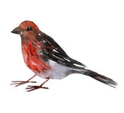 Pájaro del dibujo de la acuarela Imagenes de archivo