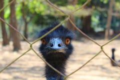 Pájaro del emú de la granja Imagen de archivo libre de regalías