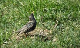 Pájaro del estornino Fotos de archivo libres de regalías