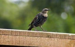 Pájaro del estornino Foto de archivo