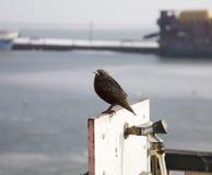 Pájaro del estornino Imagen de archivo libre de regalías