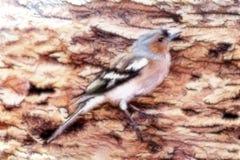 Pájaro del fractal (pinzón vulgar), junta en la tela Foto de archivo