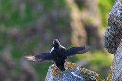 Pájaro del frailecillo Imagen de archivo libre de regalías