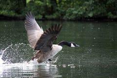 Pájaro del ganso de Canadá Foto de archivo libre de regalías