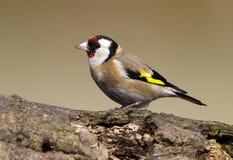 Pájaro del Goldfinch Fotografía de archivo