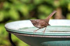 Pájaro del gorrión de canción Fotos de archivo libres de regalías