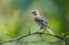 Pájaro del gorrión de casa fotografía de archivo libre de regalías