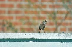 Pájaro del gorrión de casa que mira alrededor Imagen de archivo libre de regalías