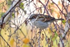 Pájaro del gorrión en rama de árbol Foto de archivo libre de regalías