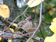 Pájaro del gorrión en rama de árbol Fotos de archivo libres de regalías