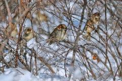 Pájaro del gorrión rodeado por las ramitas Imágenes de archivo libres de regalías