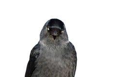 Pájaro del grajo Fotografía de archivo libre de regalías