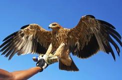 Pájaro del halcón. Fotos de archivo