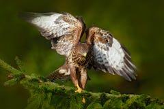 Pájaro del halcón común de la presa, buteo del Buteo, sentándose en rama de árbol spruce conífera Pájaro ocultado en el árbol en  imágenes de archivo libres de regalías