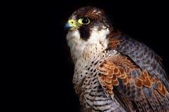 Pájaro del halcón de (2) Imagen de archivo libre de regalías