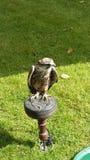 Pájaro del halcón de la presa Fotos de archivo