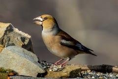 Pájaro del Hawfinch Imagen de archivo libre de regalías