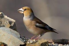 Pájaro del Hawfinch Fotos de archivo libres de regalías