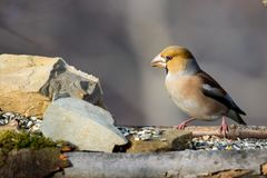 Pájaro del Hawfinch Imágenes de archivo libres de regalías