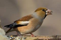 Pájaro del Hawfinch Foto de archivo