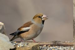 Pájaro del Hawfinch Fotos de archivo
